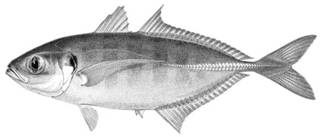 To NMNH Extant Collection (Decapterus lundini P04161 illustration)