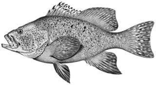 To NMNH Extant Collection (Dermatolepis zanclus P04186 illustration)