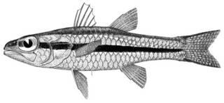 To NMNH Extant Collection (Desmoamia zonatus P04197 illustration)