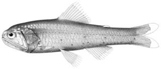 To NMNH Extant Collection (Diaphus carlsoni P04210 illustration)