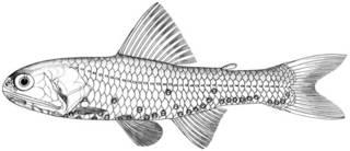 To NMNH Extant Collection (Diaphus gudgeri P09868 illustration)