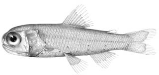 To NMNH Extant Collection (Diaphus kendalli P09872 illustration)