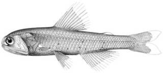 To NMNH Extant Collection (Diaphus steadi P09890 illustration)