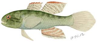 To NMNH Extant Collection (Dormitator maculatus P10035 illustration)
