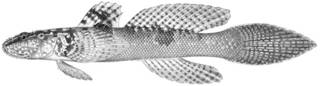 To NMNH Extant Collection (Doryptena okinawae P10039 illustration)