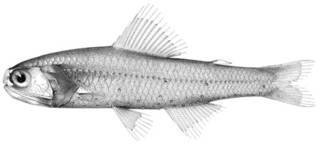 To NMNH Extant Collection (Diaphus thiollierei P10208 illustration)