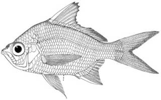 To NMNH Extant Collection (Diapterus limnaeus P10216 illustration)