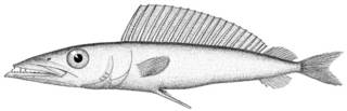 To NMNH Extant Collection (Dicrotus parvipinnis P10234 illustration)