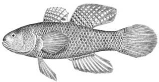 To NMNH Extant Collection (Dormitator maculatus P10037 illustration)