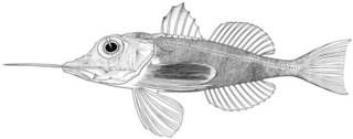 To NMNH Extant Collection (Dixiphistops megalops P15802 illustration)