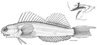To NMNH Extant Collection (Ecsenius prooculis P10188 illustration)