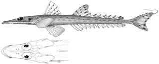 To NMNH Extant Collection (Elates thompsoni P10257 illustration)