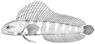 To NMNH Extant Collection (Emblemaria nivipes P10339 illustration)