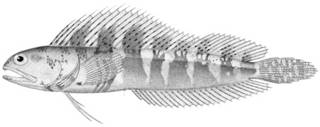 To NMNH Extant Collection (Emblemaria atlantica P10340 illustration)