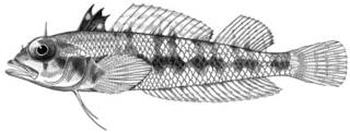 To NMNH Extant Collection (Enneapterygius corallicola P10379 illustration)