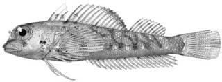 To NMNH Extant Collection (Enneapterygius hudsoni P10382 illustration)