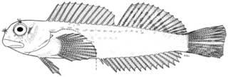 To NMNH Extant Collection (Entomacrodus cymatobiotus P10401 illustration)