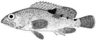 To NMNH Extant Collection (Epinephelus spilotoceps P10500 illustration)