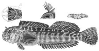 To NMNH Extant Collection (Entomacrodus cadenati P12723 illustration)
