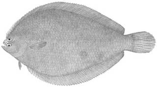 To NMNH Extant Collection (Etropus crossotus P00974 illustration)