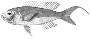 To NMNH Extant Collection (Euthyopteroma bathybium P05348 illustration)