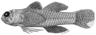 To NMNH Extant Collection (Eviota punctulata P09282 illustration)