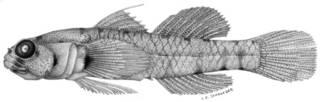 To NMNH Extant Collection (Eviota pseudostigma P09346 illustration)