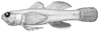 To NMNH Extant Collection (Eviota indica P09347 illustration)