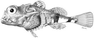 To NMNH Extant Collection (Enophrys taurinus P10388 illustration)