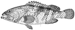 To NMNH Extant Collection (Epinephelus elongatus P10445 illustration)