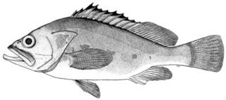To NMNH Extant Collection (Epinephelus emoryi P10464 illustration)