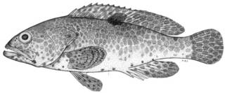 To NMNH Extant Collection (Epinephelus melanostigma P10476 illustration)