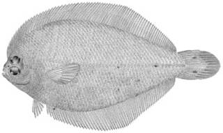 To NMNH Extant Collection (Etropus rimosus P10687 illustration)