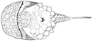 To NMNH Extant Collection (Eumicrotremus globulus P10741 illustration)