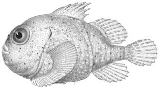 To NMNH Extant Collection (Eumicrotremus phrynoides P10743 illustration)