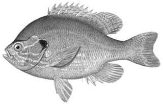 To NMNH Extant Collection (Eupomotis gibbosus P10750 illustration)