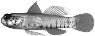 To NMNH Extant Collection (Eviota afelei P12618 illustration)