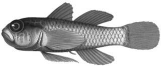 To NMNH Extant Collection (Eviota herrei P12622 illustration)
