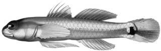 To NMNH Extant Collection (Eviota sebreei P12627 illustration)