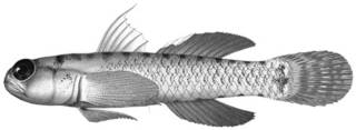 To NMNH Extant Collection (Eviota smaragdus P12628 illustration)