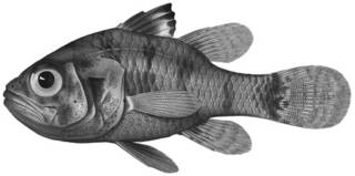 To NMNH Extant Collection (Foa fo P01535 illustration)