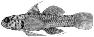 To NMNH Extant Collection (Eviota pardalota P01596 illustration)