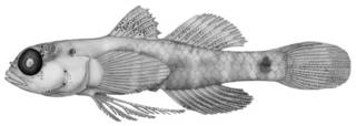 To NMNH Extant Collection (Eviota latifasciata P09281 illustration)