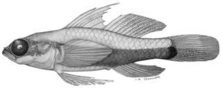 To NMNH Extant Collection (Eviota nigriventris P09336 illustration)