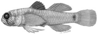 To NMNH Extant Collection (Eviota nigripinna P09343 illustration)
