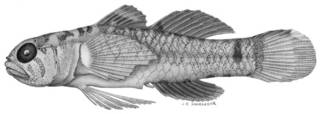 To NMNH Extant Collection (Eviota nebulosa P09344 illustration)