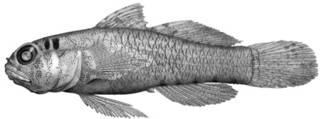 To NMNH Extant Collection (Eviota sparsa P09293 illustration)