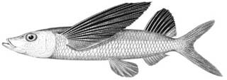 To NMNH Extant Collection (Fodiator acutus P11184 illustration)