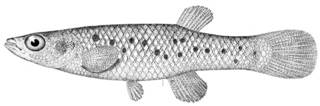 To NMNH Extant Collection (Fundulus jenkinsi P11216 illustration)