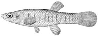 To NMNH Extant Collection (Fundulus pallidus P11229 illustration)